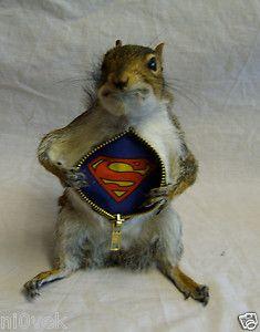 Ecureuil Superman